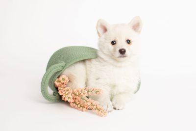 puppy244 week7 BowTiePomsky.com Bowtie Pomsky Puppy For Sale Husky Pomeranian Mini Dog Spokane WA Breeder Blue Eyes Pomskies Celebrity Puppy web4