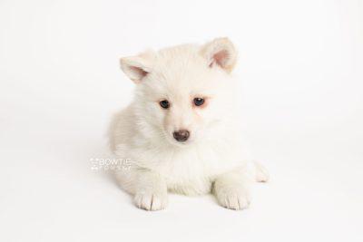 puppy244 week7 BowTiePomsky.com Bowtie Pomsky Puppy For Sale Husky Pomeranian Mini Dog Spokane WA Breeder Blue Eyes Pomskies Celebrity Puppy web6
