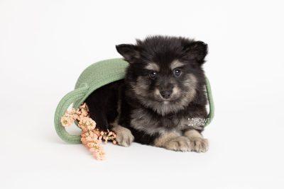 puppy245 week7 BowTiePomsky.com Bowtie Pomsky Puppy For Sale Husky Pomeranian Mini Dog Spokane WA Breeder Blue Eyes Pomskies Celebrity Puppy web4