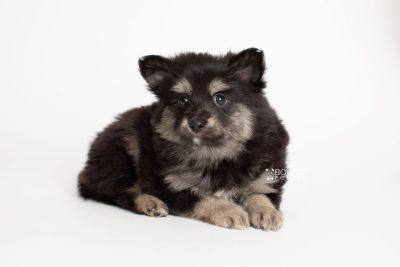 puppy245 week7 BowTiePomsky.com Bowtie Pomsky Puppy For Sale Husky Pomeranian Mini Dog Spokane WA Breeder Blue Eyes Pomskies Celebrity Puppy web6