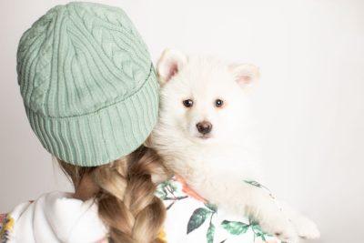 puppy246 week7 BowTiePomsky.com Bowtie Pomsky Puppy For Sale Husky Pomeranian Mini Dog Spokane WA Breeder Blue Eyes Pomskies Celebrity Puppy web7