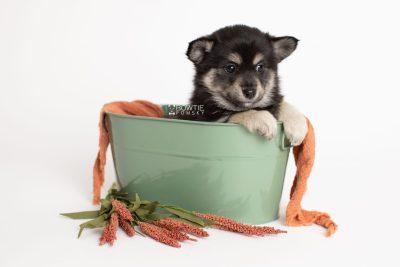 puppy247 week7 BowTiePomsky.com Bowtie Pomsky Puppy For Sale Husky Pomeranian Mini Dog Spokane WA Breeder Blue Eyes Pomskies Celebrity Puppy web2