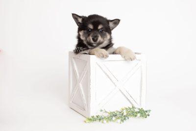 puppy247 week7 BowTiePomsky.com Bowtie Pomsky Puppy For Sale Husky Pomeranian Mini Dog Spokane WA Breeder Blue Eyes Pomskies Celebrity Puppy web3