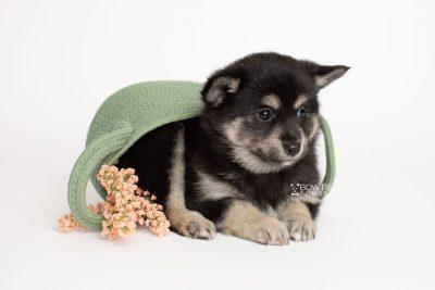 puppy247 week7 BowTiePomsky.com Bowtie Pomsky Puppy For Sale Husky Pomeranian Mini Dog Spokane WA Breeder Blue Eyes Pomskies Celebrity Puppy web4