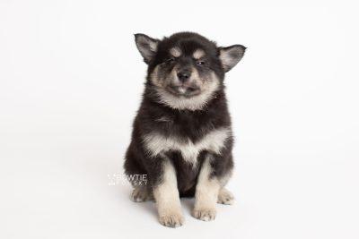 puppy247 week7 BowTiePomsky.com Bowtie Pomsky Puppy For Sale Husky Pomeranian Mini Dog Spokane WA Breeder Blue Eyes Pomskies Celebrity Puppy web7