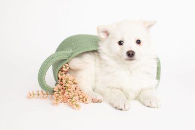 puppy248 week7 BowTiePomsky.com Bowtie Pomsky Puppy For Sale Husky Pomeranian Mini Dog Spokane WA Breeder Blue Eyes Pomskies Celebrity Puppy web4