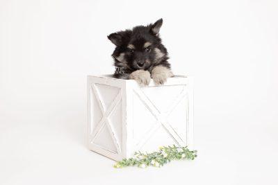 puppy249 week7 BowTiePomsky.com Bowtie Pomsky Puppy For Sale Husky Pomeranian Mini Dog Spokane WA Breeder Blue Eyes Pomskies Celebrity Puppy web3