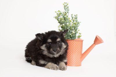 puppy249 week7 BowTiePomsky.com Bowtie Pomsky Puppy For Sale Husky Pomeranian Mini Dog Spokane WA Breeder Blue Eyes Pomskies Celebrity Puppy web5