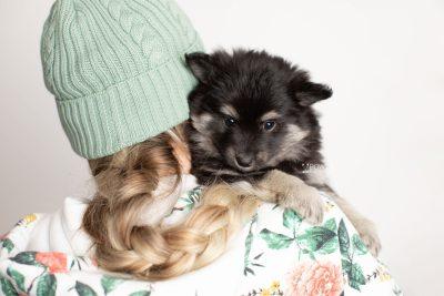 puppy249 week7 BowTiePomsky.com Bowtie Pomsky Puppy For Sale Husky Pomeranian Mini Dog Spokane WA Breeder Blue Eyes Pomskies Celebrity Puppy web7