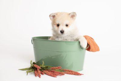 puppy250 week7 BowTiePomsky.com Bowtie Pomsky Puppy For Sale Husky Pomeranian Mini Dog Spokane WA Breeder Blue Eyes Pomskies Celebrity Puppy web2