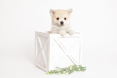 puppy250 week7 BowTiePomsky.com Bowtie Pomsky Puppy For Sale Husky Pomeranian Mini Dog Spokane WA Breeder Blue Eyes Pomskies Celebrity Puppy web3