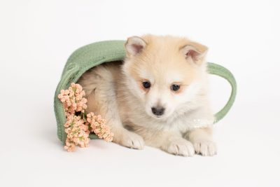 puppy250 week7 BowTiePomsky.com Bowtie Pomsky Puppy For Sale Husky Pomeranian Mini Dog Spokane WA Breeder Blue Eyes Pomskies Celebrity Puppy web4