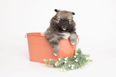 puppy253 week5 BowTiePomsky.com Bowtie Pomsky Puppy For Sale Husky Pomeranian Mini Dog Spokane WA Breeder Blue Eyes Pomskies Celebrity Puppy web3