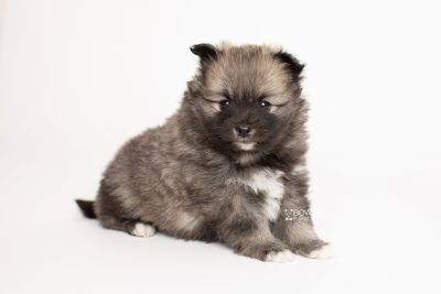 puppy253 week5 BowTiePomsky.com Bowtie Pomsky Puppy For Sale Husky Pomeranian Mini Dog Spokane WA Breeder Blue Eyes Pomskies Celebrity Puppy web6