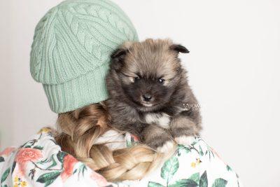 puppy253 week5 BowTiePomsky.com Bowtie Pomsky Puppy For Sale Husky Pomeranian Mini Dog Spokane WA Breeder Blue Eyes Pomskies Celebrity Puppy web7