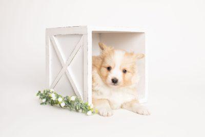 puppy254 week5 BowTiePomsky.com Bowtie Pomsky Puppy For Sale Husky Pomeranian Mini Dog Spokane WA Breeder Blue Eyes Pomskies Celebrity Puppy web1