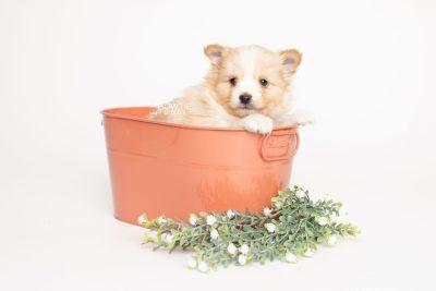 puppy254 week5 BowTiePomsky.com Bowtie Pomsky Puppy For Sale Husky Pomeranian Mini Dog Spokane WA Breeder Blue Eyes Pomskies Celebrity Puppy web3