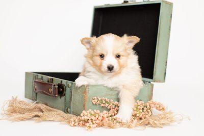 puppy254 week5 BowTiePomsky.com Bowtie Pomsky Puppy For Sale Husky Pomeranian Mini Dog Spokane WA Breeder Blue Eyes Pomskies Celebrity Puppy web4