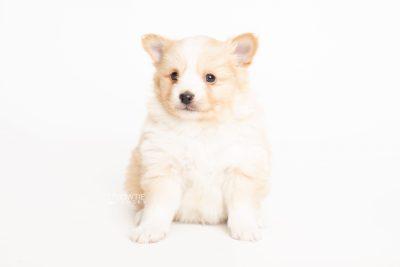 puppy254 week5 BowTiePomsky.com Bowtie Pomsky Puppy For Sale Husky Pomeranian Mini Dog Spokane WA Breeder Blue Eyes Pomskies Celebrity Puppy web6