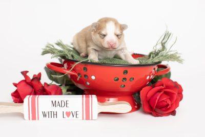 puppy257 week1 BowTiePomsky.com Bowtie Pomsky Puppy For Sale Husky Pomeranian Mini Dog Spokane WA Breeder Blue Eyes Pomskies Celebrity Puppy web6
