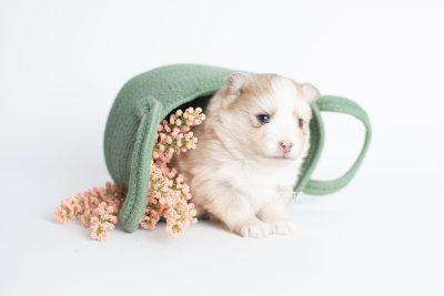 puppy257 week3 BowTiePomsky.com Bowtie Pomsky Puppy For Sale Husky Pomeranian Mini Dog Spokane WA Breeder Blue Eyes Pomskies Celebrity Puppy web2