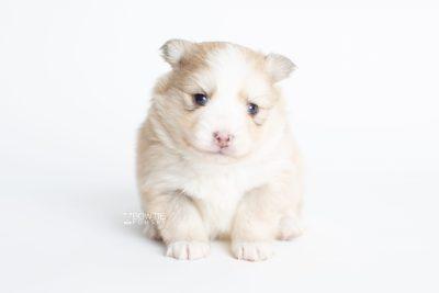 puppy257 week3 BowTiePomsky.com Bowtie Pomsky Puppy For Sale Husky Pomeranian Mini Dog Spokane WA Breeder Blue Eyes Pomskies Celebrity Puppy web7
