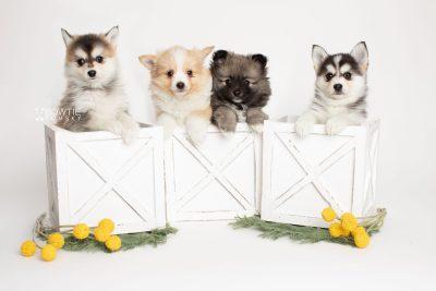 puppy252-255 week7 BowTiePomsky.com Bowtie Pomsky Puppy For Sale Husky Pomeranian Mini Dog Spokane WA Breeder Blue Eyes Pomskies Celebrity Puppy web