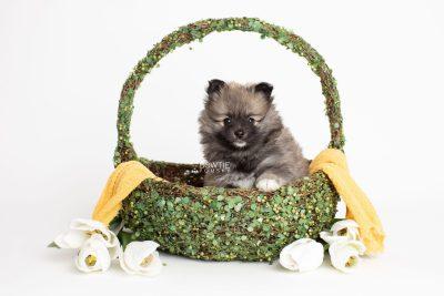 puppy253 week7 BowTiePomsky.com Bowtie Pomsky Puppy For Sale Husky Pomeranian Mini Dog Spokane WA Breeder Blue Eyes Pomskies Celebrity Puppy web3