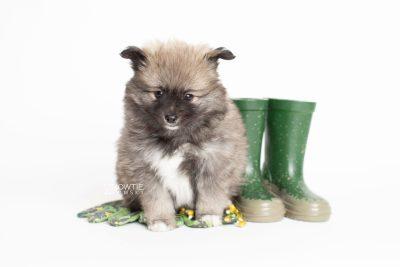 puppy253 week7 BowTiePomsky.com Bowtie Pomsky Puppy For Sale Husky Pomeranian Mini Dog Spokane WA Breeder Blue Eyes Pomskies Celebrity Puppy web4