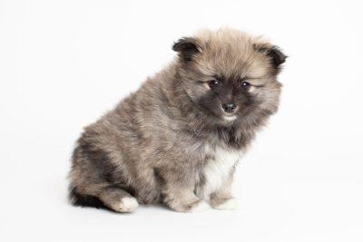 puppy253 week7 BowTiePomsky.com Bowtie Pomsky Puppy For Sale Husky Pomeranian Mini Dog Spokane WA Breeder Blue Eyes Pomskies Celebrity Puppy web6