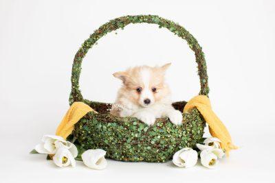 puppy254 week7 BowTiePomsky.com Bowtie Pomsky Puppy For Sale Husky Pomeranian Mini Dog Spokane WA Breeder Blue Eyes Pomskies Celebrity Puppy web3