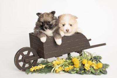 puppy256-257 week5 BowTiePomsky.com Bowtie Pomsky Puppy For Sale Husky Pomeranian Mini Dog Spokane WA Breeder Blue Eyes Pomskies Celebrity Puppy web2