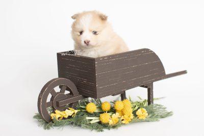 puppy257 week5 BowTiePomsky.com Bowtie Pomsky Puppy For Sale Husky Pomeranian Mini Dog Spokane WA Breeder Blue Eyes Pomskies Celebrity Puppy web1