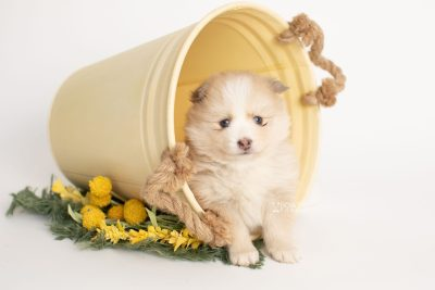 puppy257 week5 BowTiePomsky.com Bowtie Pomsky Puppy For Sale Husky Pomeranian Mini Dog Spokane WA Breeder Blue Eyes Pomskies Celebrity Puppy web2