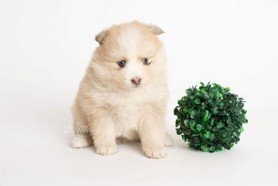 puppy257 week5 BowTiePomsky.com Bowtie Pomsky Puppy For Sale Husky Pomeranian Mini Dog Spokane WA Breeder Blue Eyes Pomskies Celebrity Puppy web5