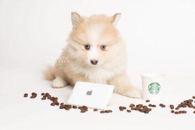 puppy257 week7 BowTiePomsky.com Bowtie Pomsky Puppy For Sale Husky Pomeranian Mini Dog Spokane WA Breeder Blue Eyes Pomskies Celebrity Puppy web2