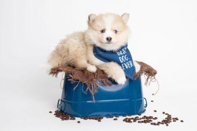 puppy257 week7 BowTiePomsky.com Bowtie Pomsky Puppy For Sale Husky Pomeranian Mini Dog Spokane WA Breeder Blue Eyes Pomskies Celebrity Puppy web4
