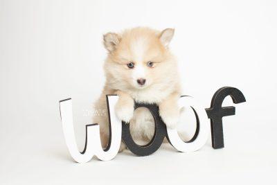 puppy257 week7 BowTiePomsky.com Bowtie Pomsky Puppy For Sale Husky Pomeranian Mini Dog Spokane WA Breeder Blue Eyes Pomskies Celebrity Puppy web5