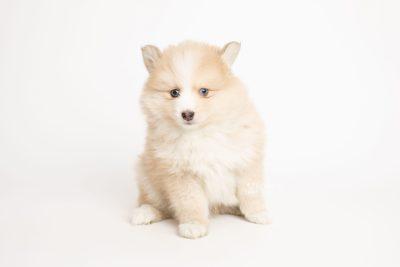 puppy257 week7 BowTiePomsky.com Bowtie Pomsky Puppy For Sale Husky Pomeranian Mini Dog Spokane WA Breeder Blue Eyes Pomskies Celebrity Puppy web6