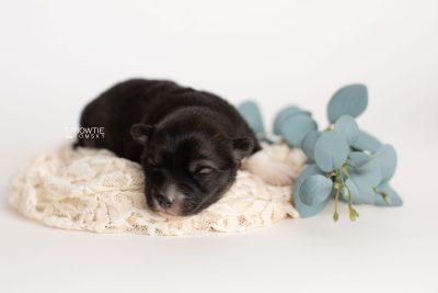 puppy278 week1 BowTiePomsky.com Bowtie Pomsky Puppy For Sale Husky Pomeranian Mini Dog Spokane WA Breeder Blue Eyes Pomskies Celebrity Puppy web3