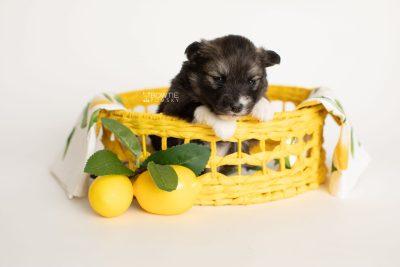puppy278 week3 BowTiePomsky.com Bowtie Pomsky Puppy For Sale Husky Pomeranian Mini Dog Spokane WA Breeder Blue Eyes Pomskies Celebrity Puppy web3