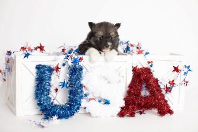 puppy278 week5 BowTiePomsky.com Bowtie Pomsky Puppy For Sale Husky Pomeranian Mini Dog Spokane WA Breeder Blue Eyes Pomskies Celebrity Puppy web2
