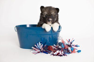 puppy278 week5 BowTiePomsky.com Bowtie Pomsky Puppy For Sale Husky Pomeranian Mini Dog Spokane WA Breeder Blue Eyes Pomskies Celebrity Puppy web3