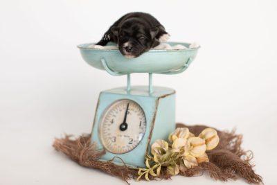 puppy279 week1 BowTiePomsky.com Bowtie Pomsky Puppy For Sale Husky Pomeranian Mini Dog Spokane WA Breeder Blue Eyes Pomskies Celebrity Puppy web1