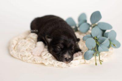 puppy279 week1 BowTiePomsky.com Bowtie Pomsky Puppy For Sale Husky Pomeranian Mini Dog Spokane WA Breeder Blue Eyes Pomskies Celebrity Puppy web3
