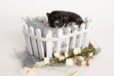 puppy279 week1 BowTiePomsky.com Bowtie Pomsky Puppy For Sale Husky Pomeranian Mini Dog Spokane WA Breeder Blue Eyes Pomskies Celebrity Puppy web4