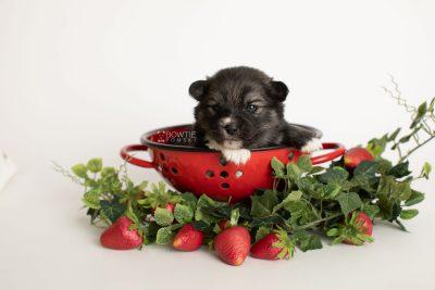 puppy279 week3 BowTiePomsky.com Bowtie Pomsky Puppy For Sale Husky Pomeranian Mini Dog Spokane WA Breeder Blue Eyes Pomskies Celebrity Puppy web4