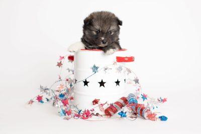 puppy279 week5 BowTiePomsky.com Bowtie Pomsky Puppy For Sale Husky Pomeranian Mini Dog Spokane WA Breeder Blue Eyes Pomskies Celebrity Puppy web1