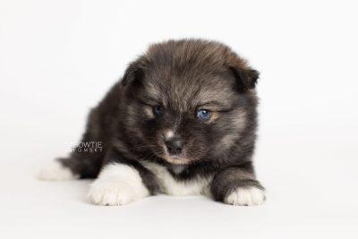 puppy279 week5 BowTiePomsky.com Bowtie Pomsky Puppy For Sale Husky Pomeranian Mini Dog Spokane WA Breeder Blue Eyes Pomskies Celebrity Puppy web6