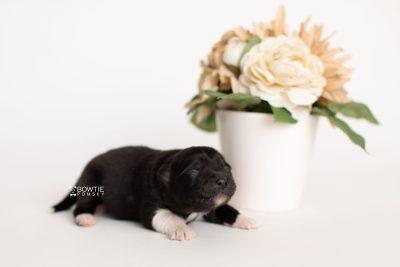 puppy280 week1 BowTiePomsky.com Bowtie Pomsky Puppy For Sale Husky Pomeranian Mini Dog Spokane WA Breeder Blue Eyes Pomskies Celebrity Puppy web5